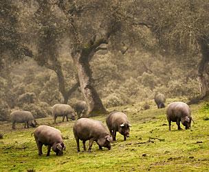 La clave de los cerdos ib�ricos es pastar sin estr�s en dehesas como �sta, en la sierra onubense de Aracena. | Foto: Shutterstock