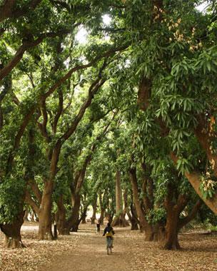Los frondosos bosques de mangos camino a las cascadas de Karfiguela.